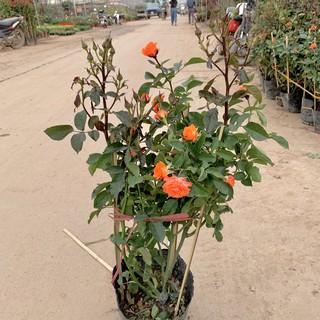 Cây hoa hồng tỉ muội cao 50cm, cây siêu hoa và nở quanh năm, cây hoa cảnh trồng trang trí ban công, sân vườn
