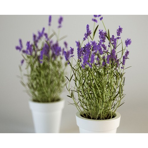 Hạt Giống Hoa Oải Hương ( Lavender)