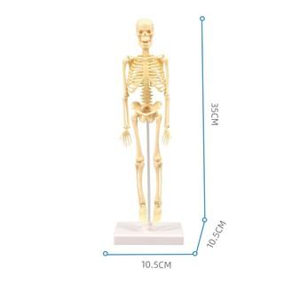 Bộ lắp ráp mô hình xương người – dùng cho giáo dục – cao 35cm