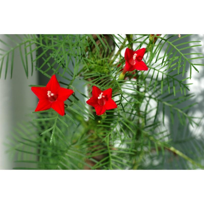 Hạt Giống Hoa Tóc Tiên Đỏ ( 10 hạt )