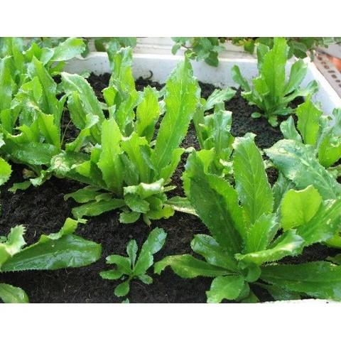 COMBO 02 gói hạt giống rau răng cưa ( rau mùi tàu thơm) tặng kèm 1 gói phân dinh dưỡng cho cây - 2642614 , 487699958 , 322_487699958 , 29000 , COMBO-02-goi-hat-giong-rau-rang-cua-rau-mui-tau-thom-tang-kem-1-goi-phan-dinh-duong-cho-cay-322_487699958 , shopee.vn , COMBO 02 gói hạt giống rau răng cưa ( rau mùi tàu thơm) tặng kèm 1 gói phân dinh dưỡ
