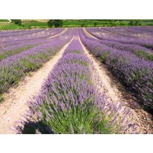 Hạt giống hoa Oải hương (Lavender)