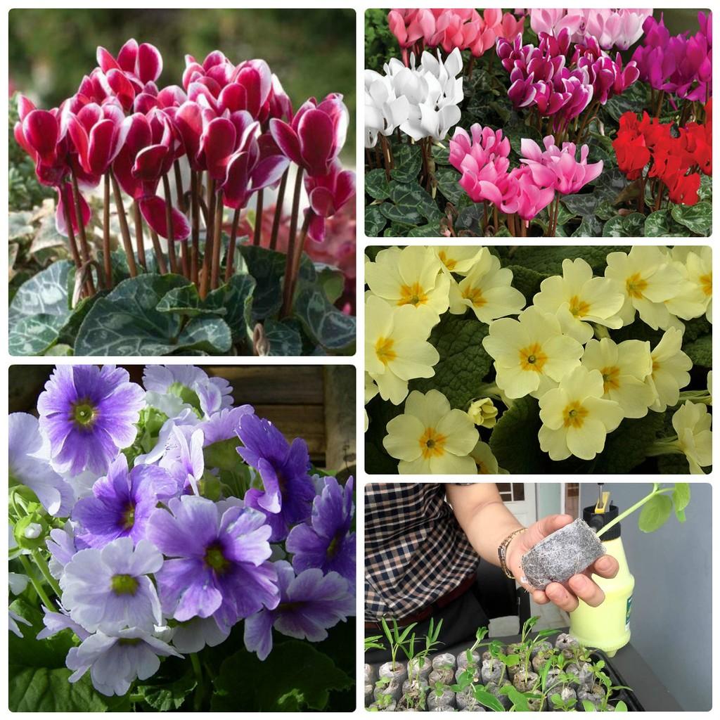 SET Hạt giống hoa anh thảo nhiều màu ( 5 hạt) và 05 viên nén ươm hạt