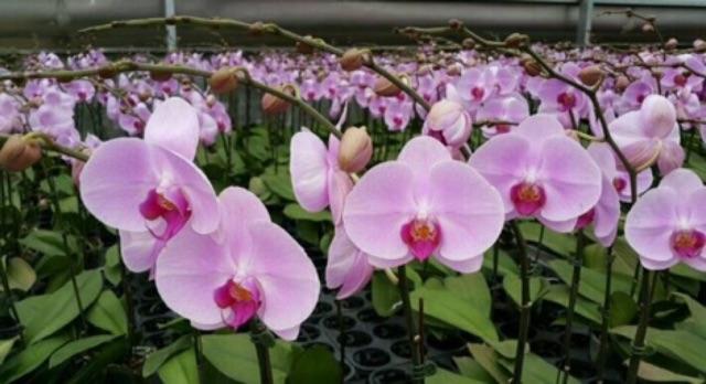 lan hồ điệp cây giống hoa đại - 2661951 , 418968996 , 322_418968996 , 40000 , lan-ho-diep-cay-giong-hoa-dai-322_418968996 , shopee.vn , lan hồ điệp cây giống hoa đại