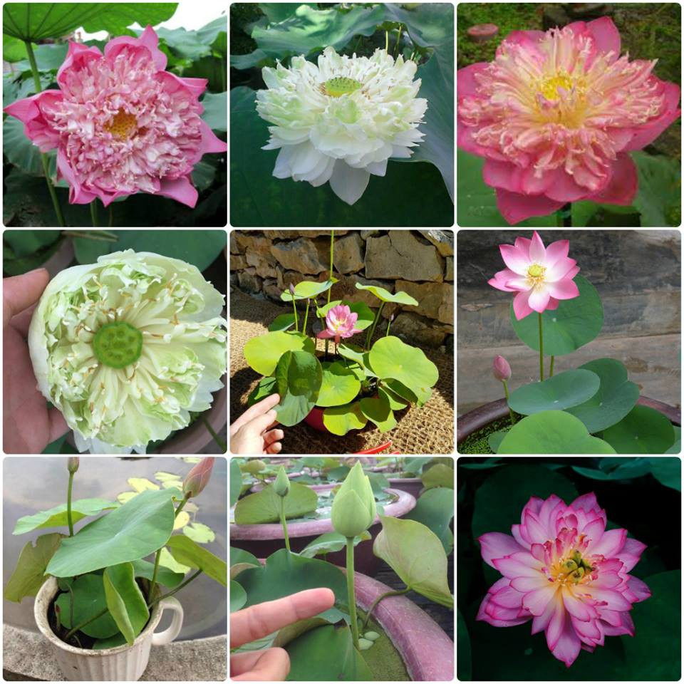 Gói 8 hạt giống hoa sen nhật mini 10 màu