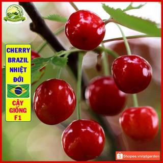 Cây cherry Brazil nhiệt đới (anh đào Brazil) cây con khỏe dễ sống trái thơm ngon ngọt giống nhập khẩu - QD33 thumbnail
