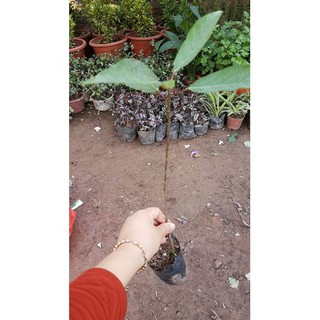 Cây sung chơi cảnh ăn lá cao 50 cm - Đơn hàng thanh toán trước tặng vòi tưới tự động