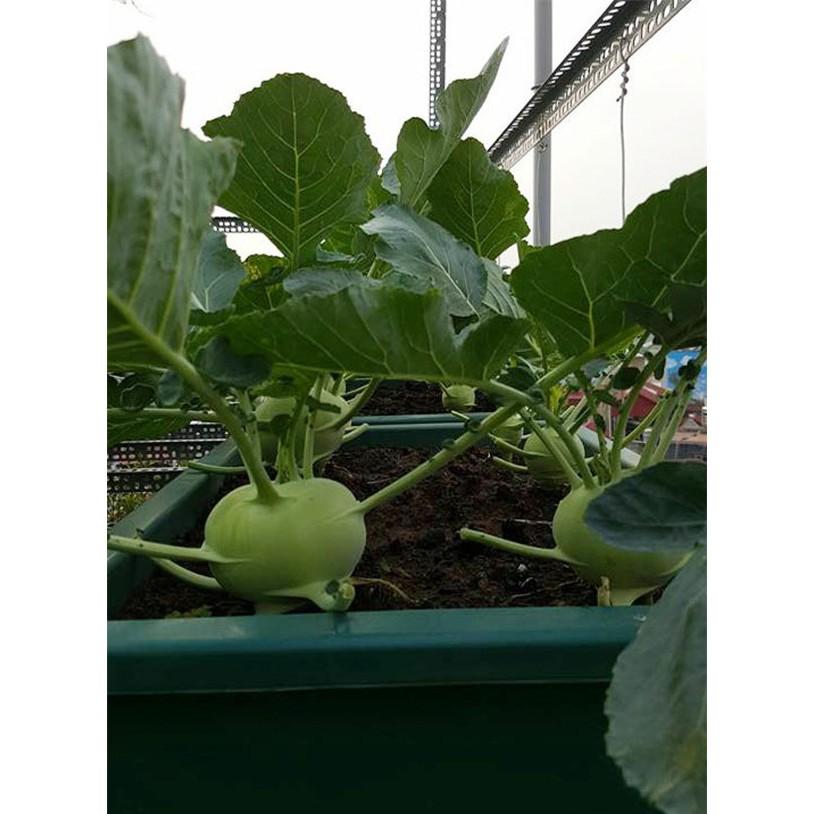 Hạt giống Su Hào Xanh trồng thùng xốp trồng vườn ( gói 0.2 gram)