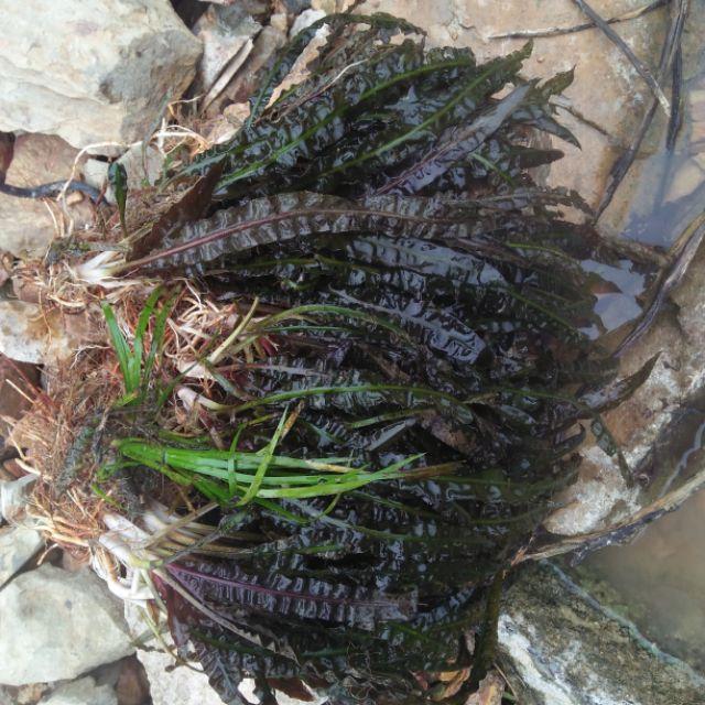 Cây thuỷ sinh tiêu thảo lá nhăn 150k /kg   Shopee Việt Nam