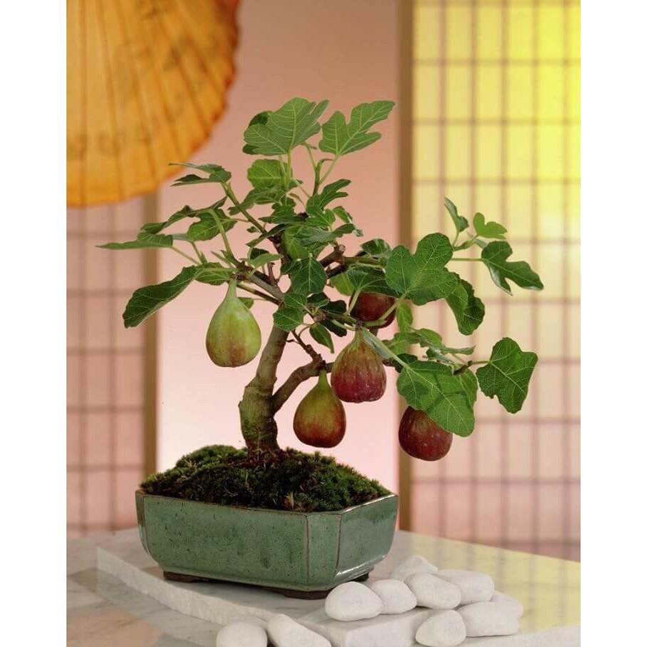 COMBO 2 gói hạt giống cây sung ngọt Mỹ TẶNG 1 phân bón - 2666625 , 1294501377 , 322_1294501377 , 50000 , COMBO-2-goi-hat-giong-cay-sung-ngot-My-TANG-1-phan-bon-322_1294501377 , shopee.vn , COMBO 2 gói hạt giống cây sung ngọt Mỹ TẶNG 1 phân bón