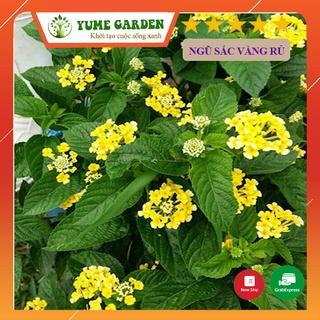 Cây Hoa Cúc ngũ sắc vàng rủ trang trí ban công sân vườn đẹp dễ trồng thumbnail