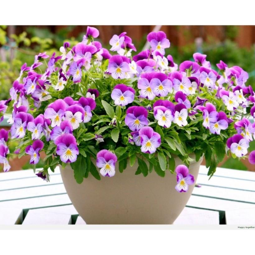 BỘ 2 gói hạt giống hoa bướm PANSY nhiều màu tặng kèm 01 gói phân bón - 2650615 , 533366954 , 322_533366954 , 39000 , BO-2-goi-hat-giong-hoa-buom-PANSY-nhieu-mau-tang-kem-01-goi-phan-bon-322_533366954 , shopee.vn , BỘ 2 gói hạt giống hoa bướm PANSY nhiều màu tặng kèm 01 gói phân bón