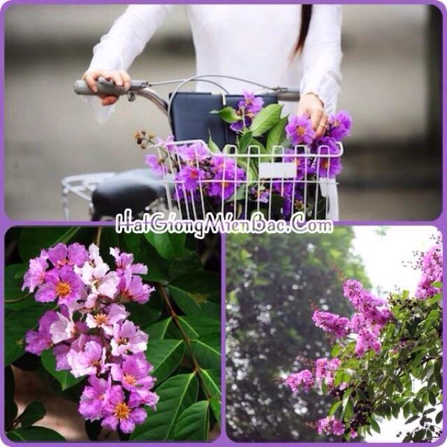 Hạt giống Hoa Bằng Lăng tím và cách gieo trồng hoa bằng lăng ( hạt giống hoa công trình )