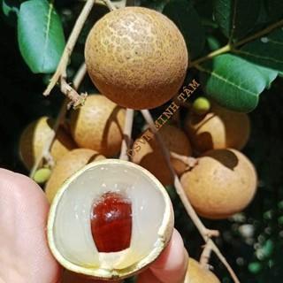 Nhãn xuồng loại 1 bao ăn từng trái ngon ngọt [ CHỈ GIAO TPHCM]