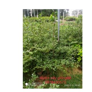 Cây bàng giống đài loan cao 50-60 cm