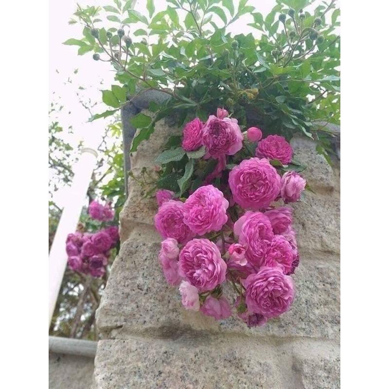 Hoa hồng leo ngoại rễ trần cây giống