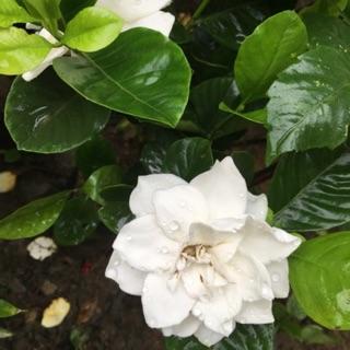 Cây hoa dành dành (bạch thiên hương ) thơm ngọt ngào
