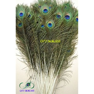 [MẮT TO] Lông công dài từ 25 đến 120cm loại ĐẸP nguyên vẹn, tự nhiên 100% phong thủy tài lộc
