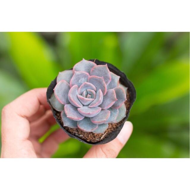 Sen đá viền tím 3-5cm - Sen đá giá rẻ