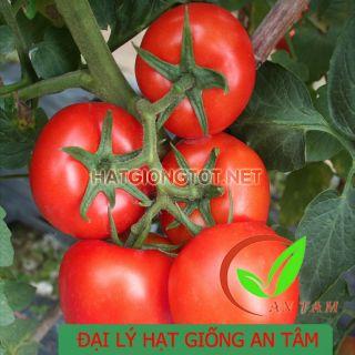 Hạt giống cà chua kháng xoăn A25