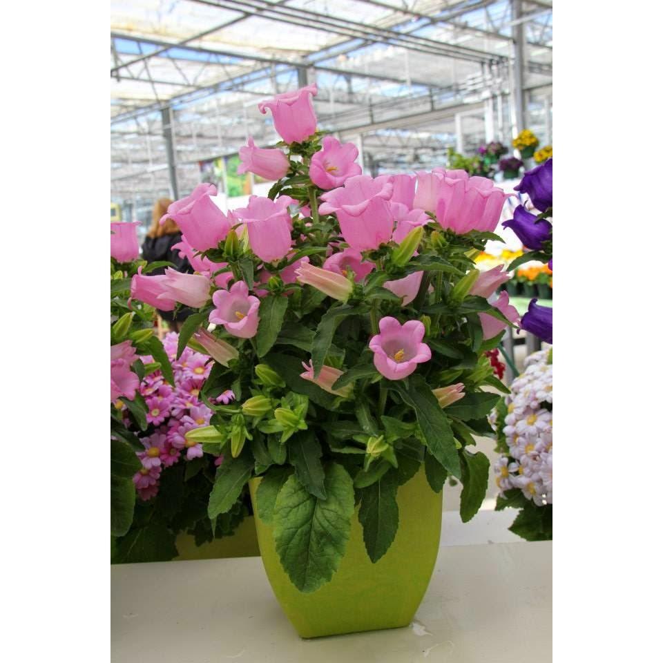 Hạt giống hoa Chuông lùn Nhiều màu ( 40- 50 hạt ) - 2662602 , 66113042 , 322_66113042 , 28000 , Hat-giong-hoa-Chuong-lun-Nhieu-mau-40-50-hat--322_66113042 , shopee.vn , Hạt giống hoa Chuông lùn Nhiều màu ( 40- 50 hạt )