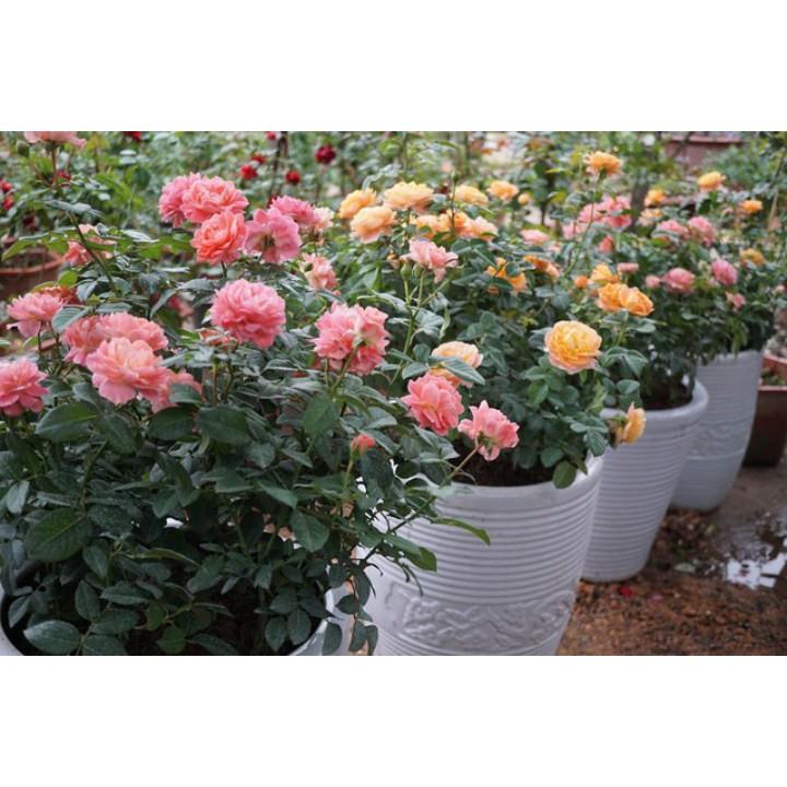 gói 20 hạt giống hoa hồng thơm mở