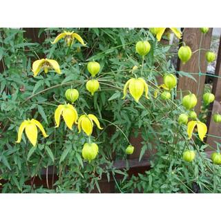 Bán Hạt giống hoa Clematis (hoa Ông Lão) vàng tại Hạt Giống Bốn Mùa