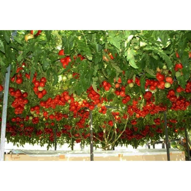 Hạt giống cà chua leo giàn (cà chua bạch tuộc) F1