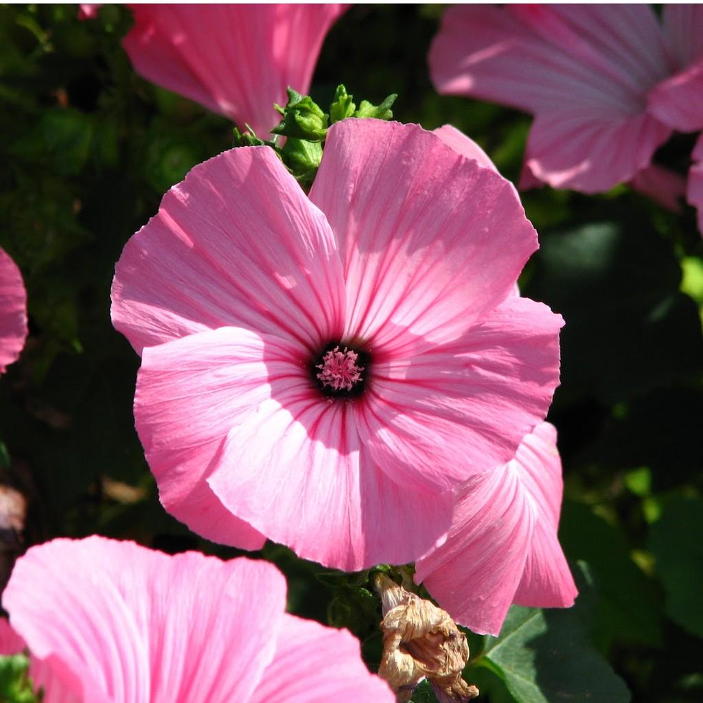 COMBO 5 gói hạt giống hoa cẩm quỳ TẶNG 1 phân bón