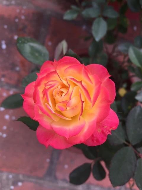 Gốc hồng bánh tẻ  -70k/10 gốc - tặng kích rễ