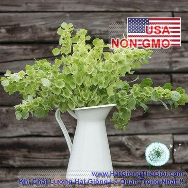 10h Hạt Giống Hoa Lá Đệm - Kèn Ireland (Moluccella laevis)