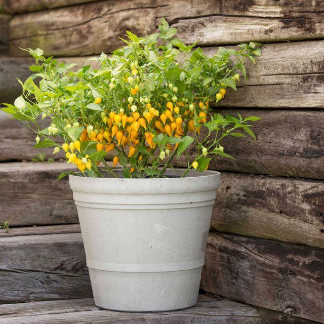 Hạt giống ớt Biquinho vàng giống hữu cơ Mỹ Johnny Seeds hũ 10 hạt lẻ