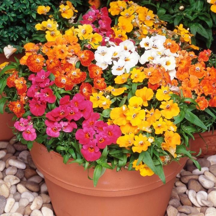 Hạt giống hoa Cúc Nemesia Mix 100 Hạt