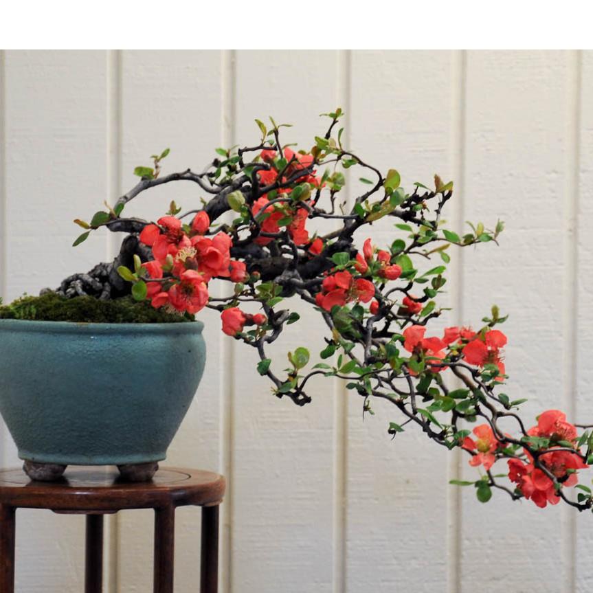 Hạt giống hoa mai lùn đỏ trồng chậu phong thủy