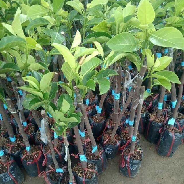 Com bo 2 cây Mít giống từ Học Viện Nông nghiệp - 14540781 , 2358001174 , 322_2358001174 , 190000 , Com-bo-2-cay-Mit-giong-tu-Hoc-Vien-Nong-nghiep-322_2358001174 , shopee.vn , Com bo 2 cây Mít giống từ Học Viện Nông nghiệp