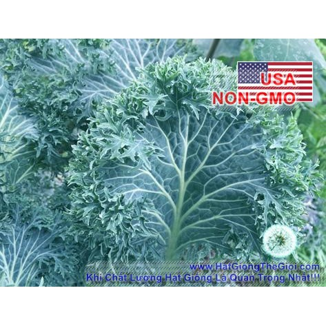 100h Hạt Giống Cải Kale - Chẻ Lá Siber Frills (Brassica napus)
