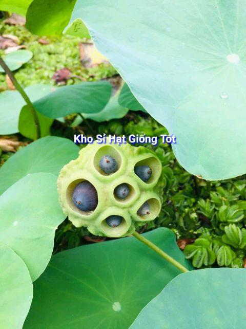 Hạt Giống Hoa Sen Mini Nhật Bản 1.9k/Hạt - 10 Màu Siêu dễ trồng Đảm bảo nảy mầm 99% không có hạt nổi ĐẾN MÙA TRỒNG TẾT