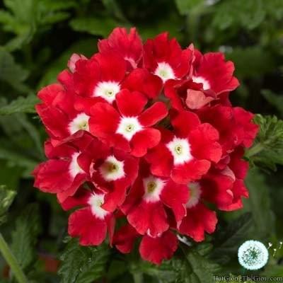 10h Hạt Giống Hoa Vân Anh - Đỏ Scarlet (Verbena hybrida) - 3528528 , 872800059 , 322_872800059 , 21000 , 10h-Hat-Giong-Hoa-Van-Anh-Do-Scarlet-Verbena-hybrida-322_872800059 , shopee.vn , 10h Hạt Giống Hoa Vân Anh - Đỏ Scarlet (Verbena hybrida)