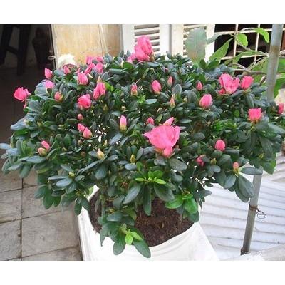 Hạt giống hoa Đỗ quyên Nhiều màu ( 20-30 hạt)