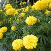 [Giá Khá Bảnh] Hạt giống Hoa Vạn thọ lỡ vàng