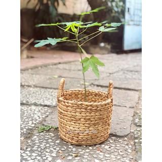 [Hình thật] Giỏ trồng cây trong nhà, trang trí decor nội thất phòng khách/ Hycacinth inhouse planter