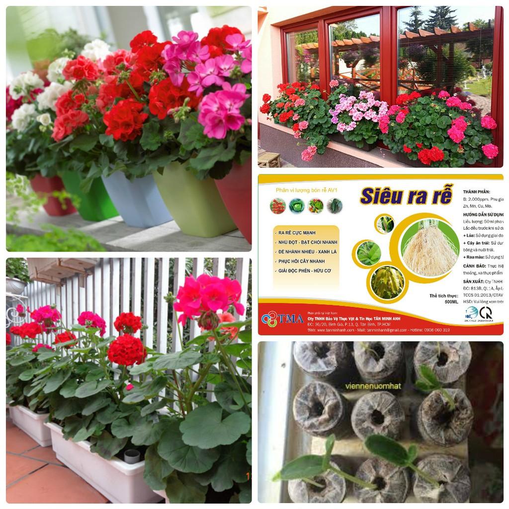 COMBO 20 hạt giống hoa phong lữ thảo tặng kèm miễn phí 20 viên nén và 1 gói dinh dưỡng cho cây