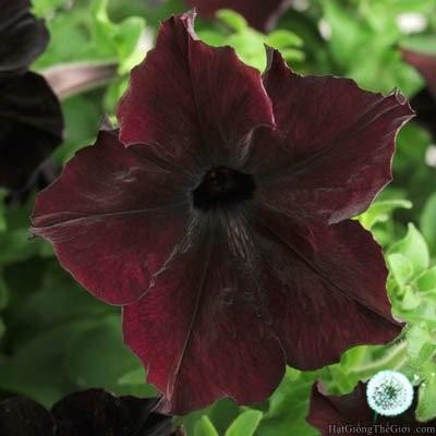 5h Hạt Giống Hoa Dạ Yến Thảo - Tinh Tế Blackberry (Petunia grandiflora)
