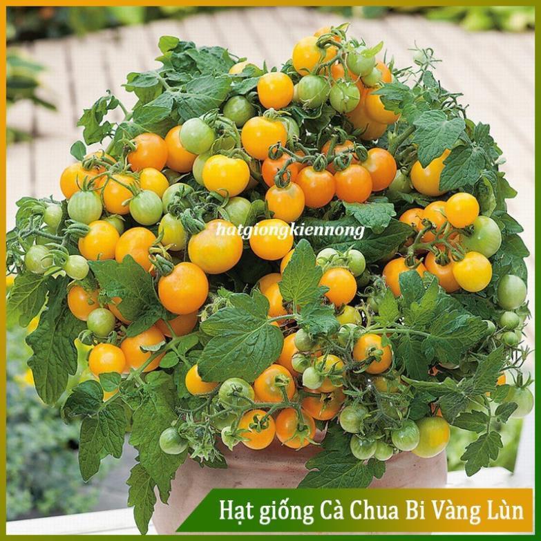 Hạt giống Cà Chua Bi Vàng Lùn ( Gói 20 Hạt ) - Nông Sản Vàng
