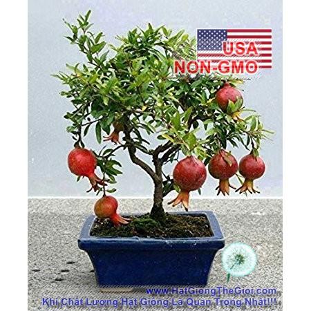 5h Hạt Giống Cây Lựu - Lùn (Punica granatum) - 3496653 , 1001635295 , 322_1001635295 , 14000 , 5h-Hat-Giong-Cay-Luu-Lun-Punica-granatum-322_1001635295 , shopee.vn , 5h Hạt Giống Cây Lựu - Lùn (Punica granatum)