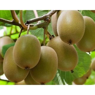 Hạt Giống Qủa Kiwi (60 Hạt) - Giàu Vitamin,Bổ Dưỡng,Tốt cho da - MUA 3 TẶNG 1 CÙNG LOẠI thumbnail