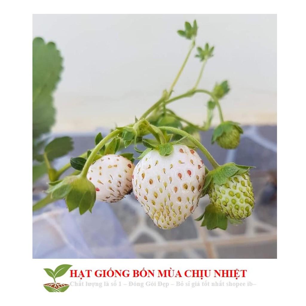 Hg1c 50 hạt giống dâu tây trắng chịu nhiệt Dâu tây Nhật