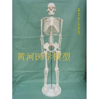 mô hình bộ xương người 85cm
