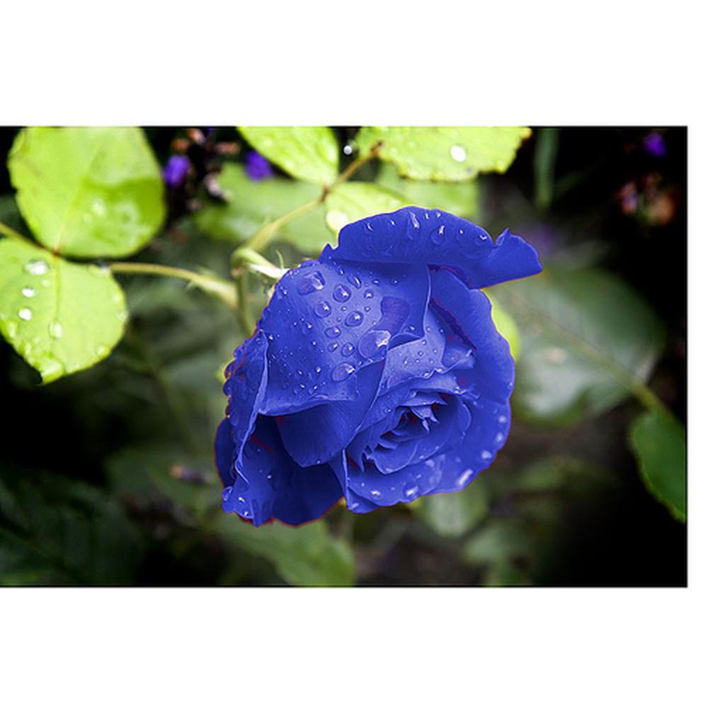 Hạt giống hoa hồng xanh 15 hạt