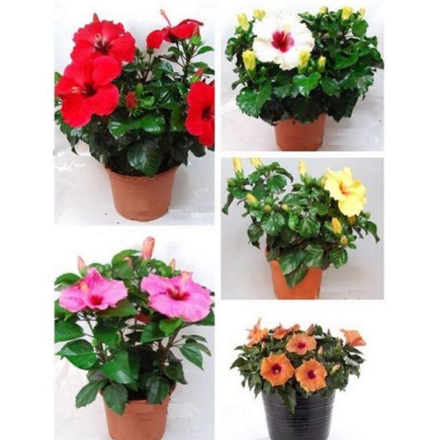 Hạt giống hoa Dâm Bụt lùn bonsai mix nhiều màu